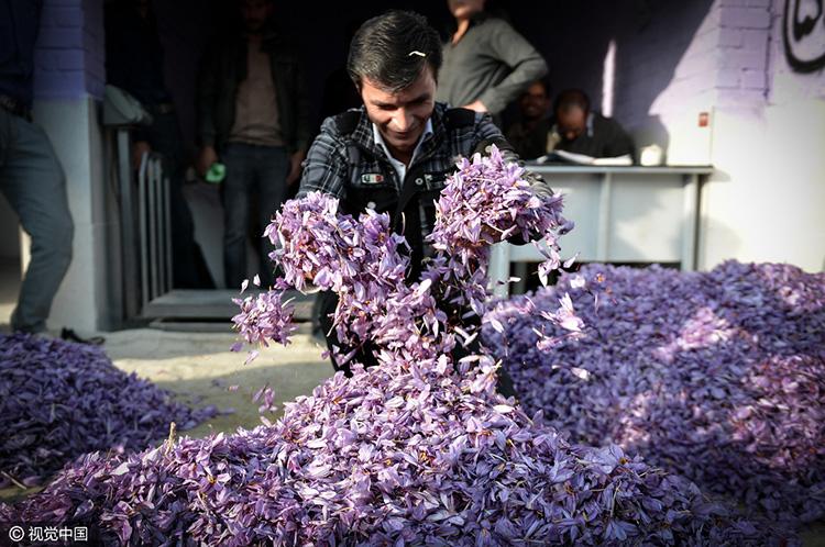伊朗花農手捧藏紅花花朵充滿了喜悅