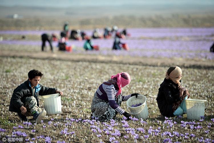 伊朗花農在田間采摘藏紅花