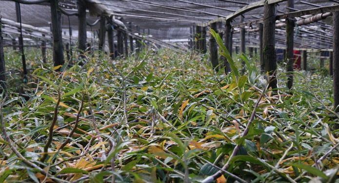 大棚種植的紫皮石斛