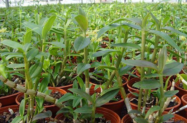 鐵皮石斛種植