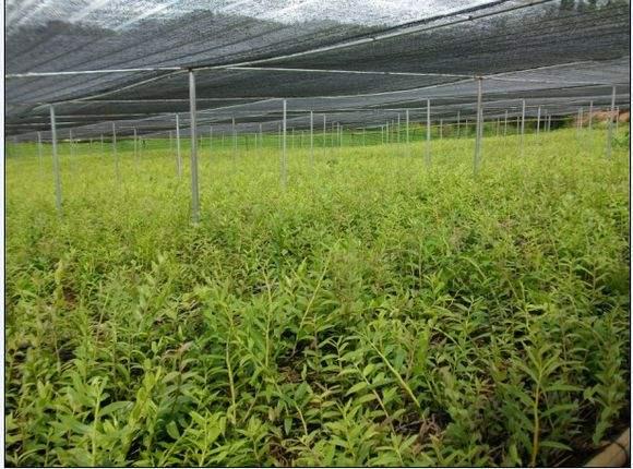 鐵皮石斛大棚種植