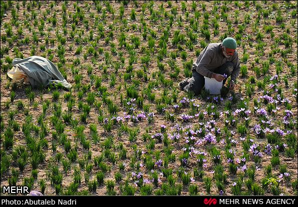 伊朗花农采摘收获藏红花