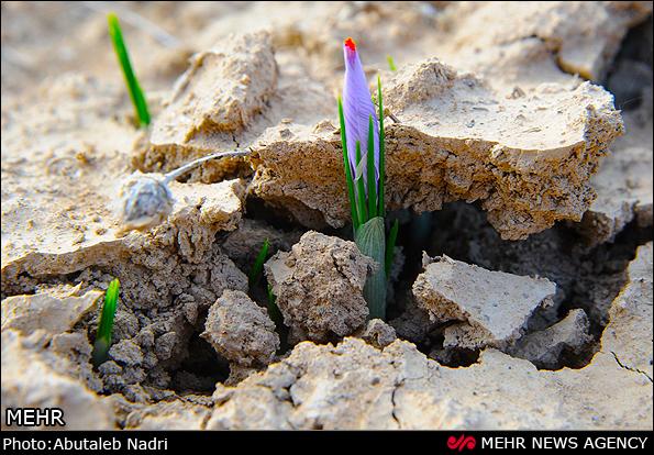 破土而出的藏红花