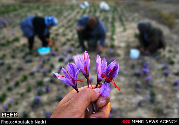 采摘了3朵藏红花