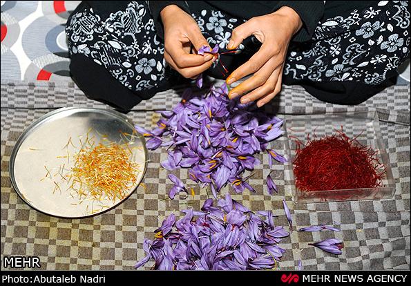 一名伊朗花农在剥取藏红花花丝