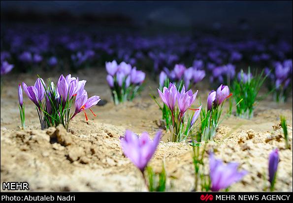 田间盛开的藏红花