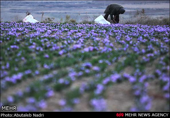 花农采摘收获藏红花