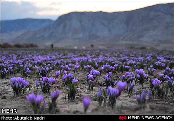 伊朗藏红花田
