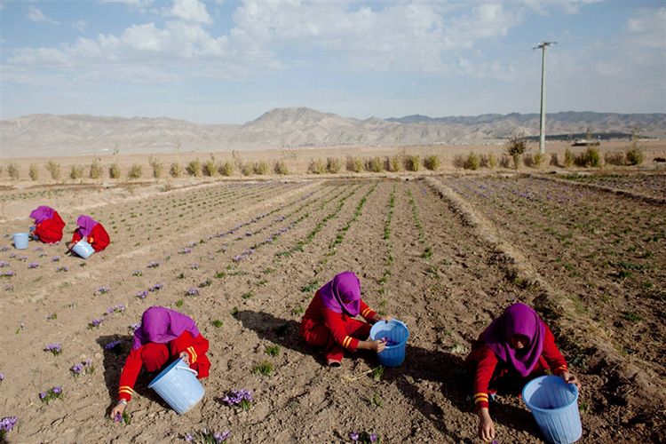 阿富汗花农采摘藏红花