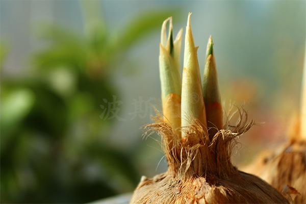 单个藏红花球茎发芽图片