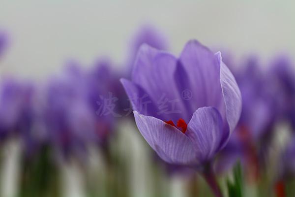 盛開的藏紅花