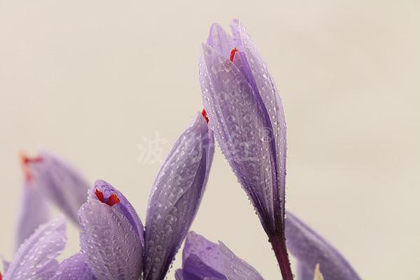含苞待放的藏红花