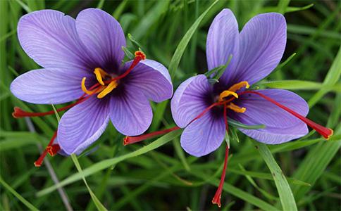 藏红花花朵