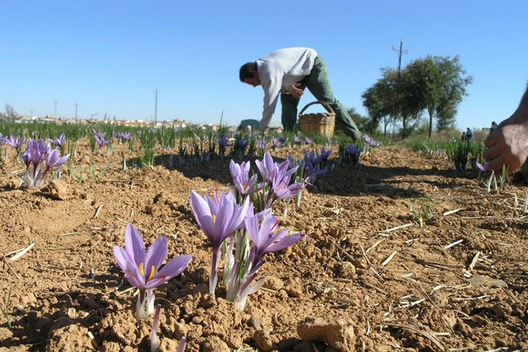 西班牙花农采摘藏红花