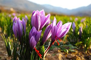 西红花的功效与作用西红花的用途