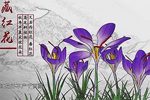 紀錄片《本草中國》講述草紅花和藏紅花的區別