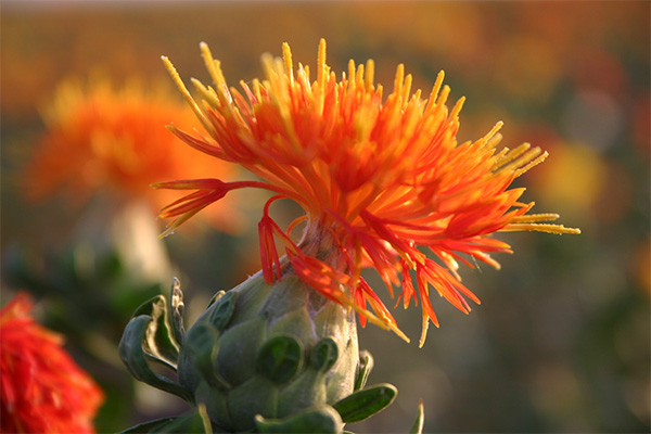 草红花花朵