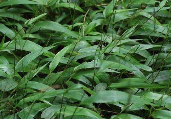 淡竹葉植物