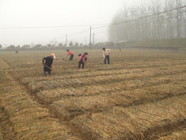 湖州善緣西紅花專業合作社的藏紅花種植基地