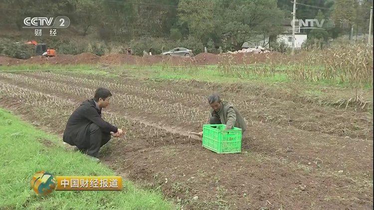 武義縣花農正在種植藏紅花