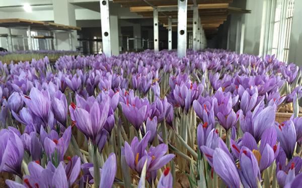 建德市三都新和西紅花專業合作社花房里的藏紅花正在盛開