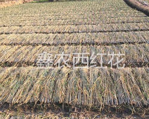 鑫農西紅花專業合作社藏紅花種植基地