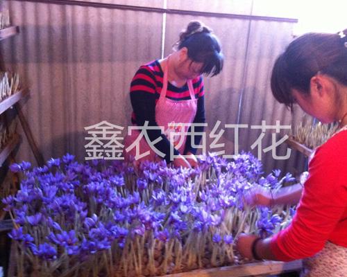 鑫农西红花专业合作社的花农正在采摘藏红花