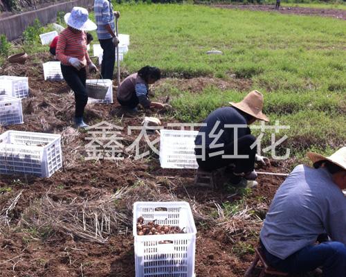 鑫农西红花专业合作社起挖藏红花球茎