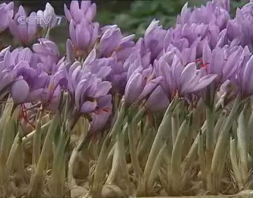 上海瀛洲西紅花種植專業合作社藏紅花盛開