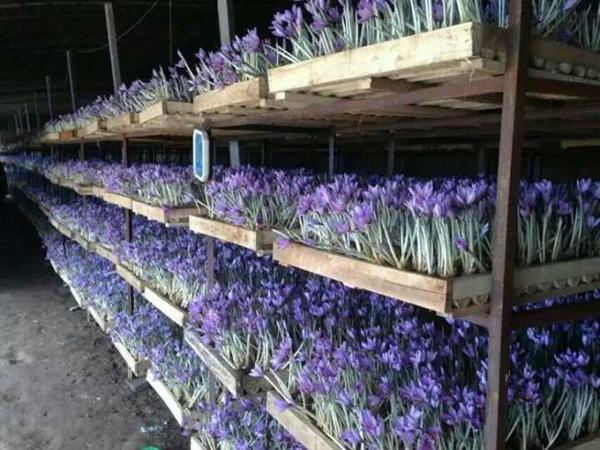 澄城縣智融藏紅花種植農民專業合作社的藏紅花盛開