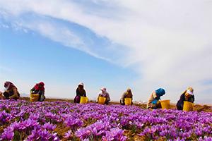 2014年伊朗藏红花产量超过280吨占全球藏红花产量的94%