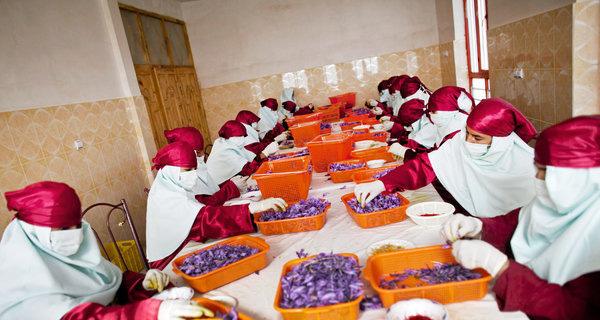 阿富汗藏紅花花農剝取藏紅花