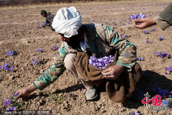 一名阿富汗男性正在采摘藏紅花