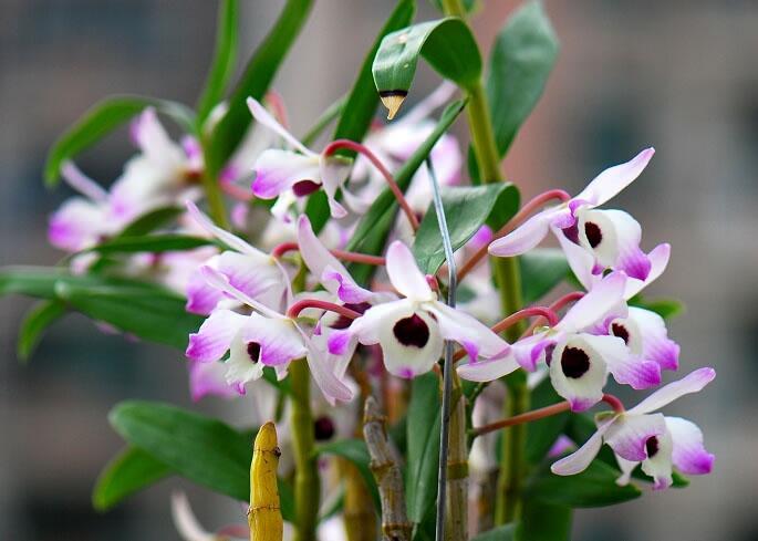 金釵石斛開花