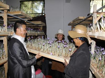 西藏花农采摘藏红花