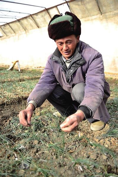 西藏大棚种植藏红花