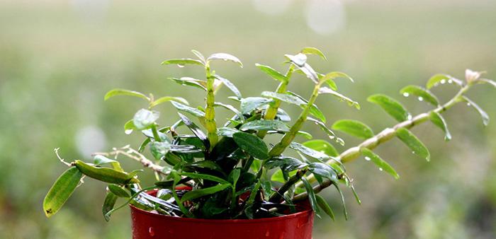 盆栽鐵皮石斛