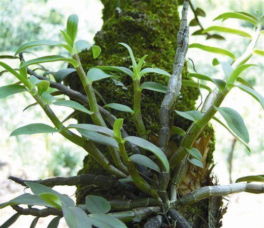 铁皮石斛植株