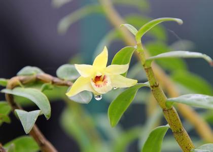 石斛莖和花