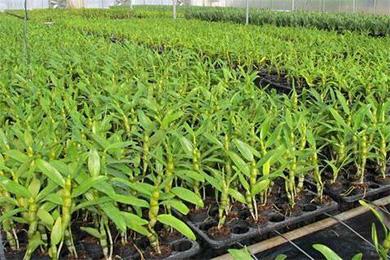 種植鐵皮石斛為什么要用基質?
