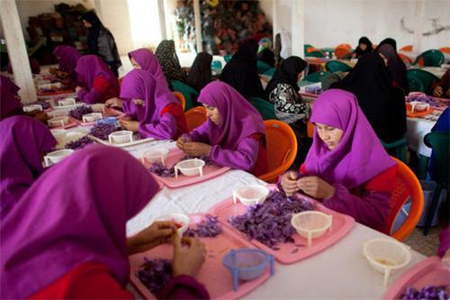 阿富汗妇女剥取藏红花花丝