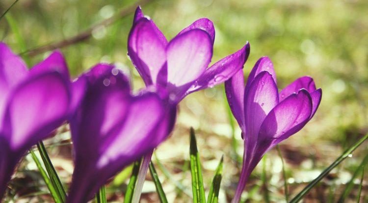 迎接陽光的紫色番紅花
