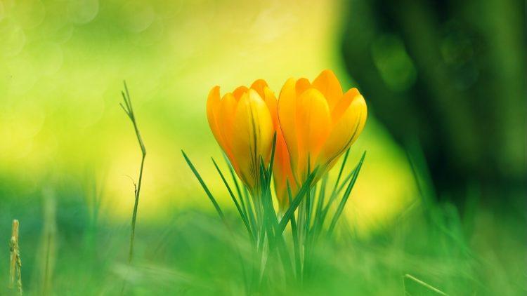 一小叢盛開的黃色番紅花