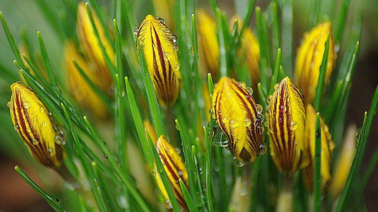 含苞待放被朝露淋濕的黃色條紋番紅花