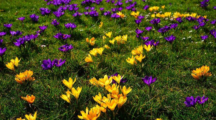 草地上盛開的黃色和紫色番紅花