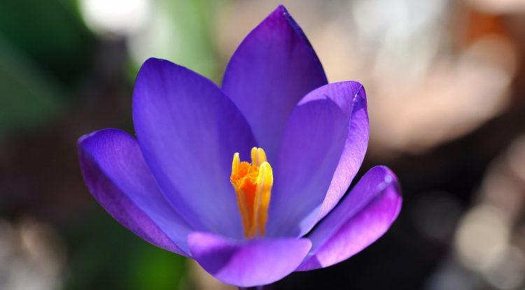 一朵盛開的紫色番紅花
