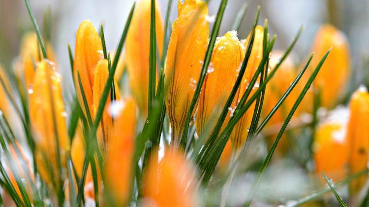含苞待放的黃色番紅花