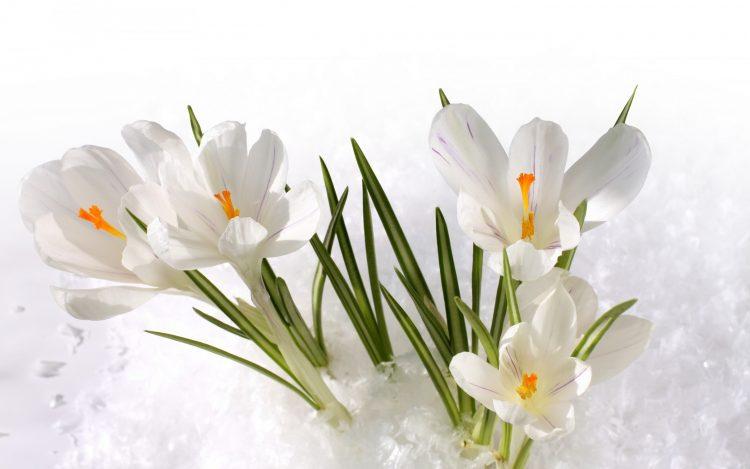 雪地里盛開的白色番紅花