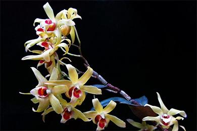 石斛花的功效與作用及食用方法