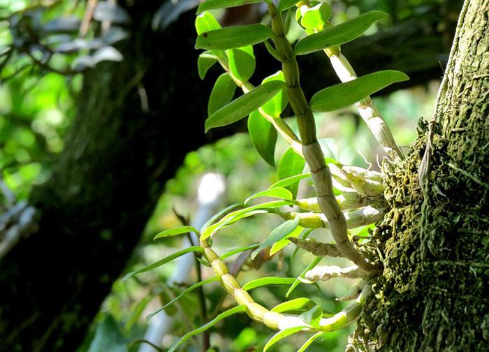 生长在树上的金钗石斛